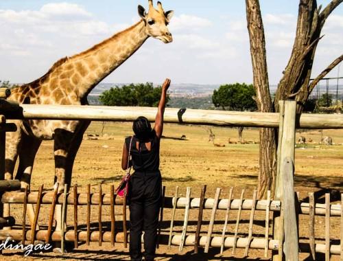 Ae tryin to feed a giraffe